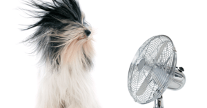 A dog stands in front of a fan with its hair blowing about.