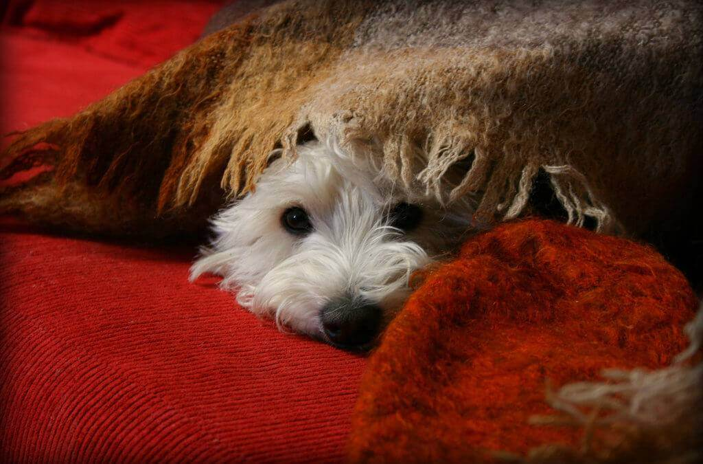 A white dog snuggles up under a blanket.