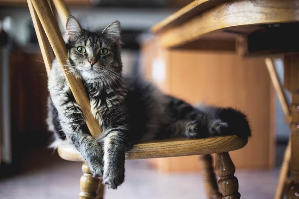 Gray cat resting on a wooden chair
